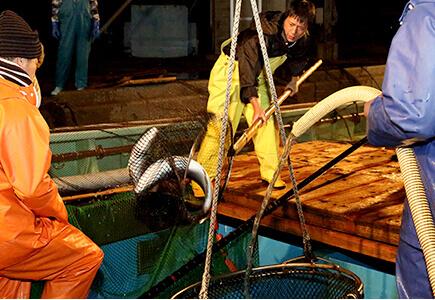 活魚の取り扱い